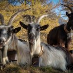 Horské kozy cestou na Monte Legnone
