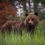 Mladý medvěd grizzly