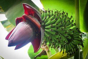 Obrovský a nádherný květ banánovníku