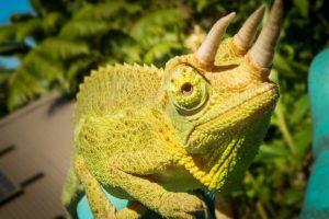 Ahoj, já jsem chameleon třírohý